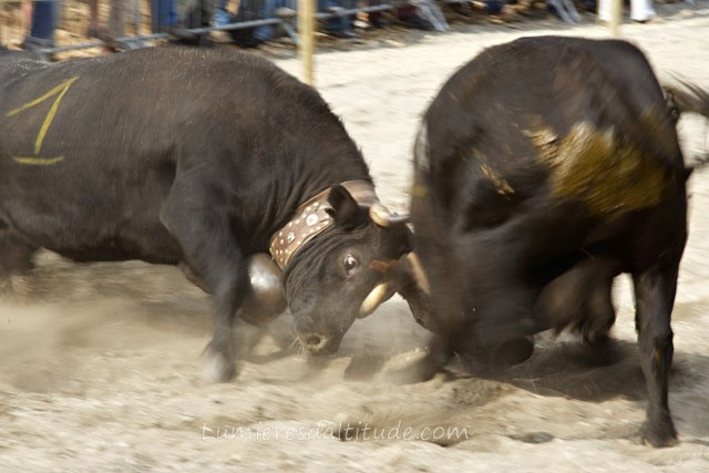 COWS FIGHTING, ARGENTIERE VILLAGE, HAUTE-SAVOIE, FRANCE